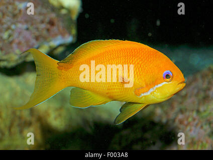 Orange sea perch, Sea goldie, Lyretail coralfish, Lyretail anthias, Harem Flag Basslet (Anthias squamipinnis, Pseudanthias - Stock Photo