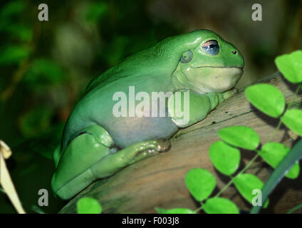 Green Tree Frog White's Treefrog (Litoria caerulea, Hyla caerulea, Pelodryas caerulea), on a branch, Australia - Stock Photo