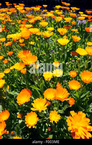 Common marigold (Calendula officinalis) plant showing ... Marigold Plant With Roots