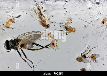 dead flys on a fly trap - Stock Photo