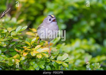 goldcrest (Regulus regulus), singing male on a twig, Germany, Mecklenburg-Western Pomerania - Stock Photo