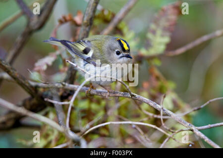 goldcrest (Regulus regulus), male on a twig, Germany, Mecklenburg-Western Pomerania - Stock Photo