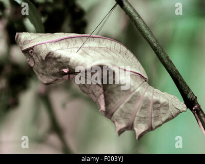 Common Birdwing (Troides helena), pupa - Stock Photo