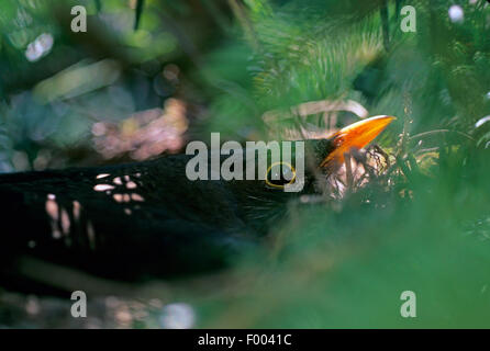 blackbird (Turdus merula), breeding male, Germany - Stock Photo