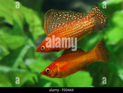 Giant sailfin molly, Sail-fin molly, Red sailfin molly, Yucatan Molly (Poecilia velifera), couple - Stock Photo