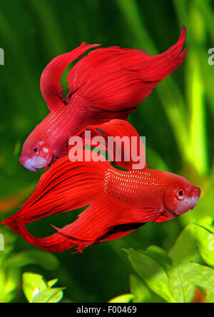 Siamese fighting fish, Siamese fighter (Betta splendens), two Siamese fighting fishes - Stock Photo