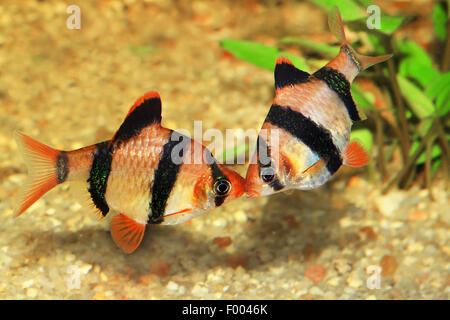 Sumatra barb, tiger barb (Puntius tetrazona, Barbus tetrazona), two Sumatra barbs - Stock Photo