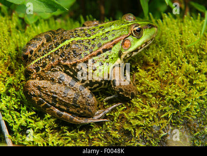 European edible frog, common edible frog (Rana kl. esculenta, Rana esculenta, Pelophylax esculentus), sits on moss, - Stock Photo