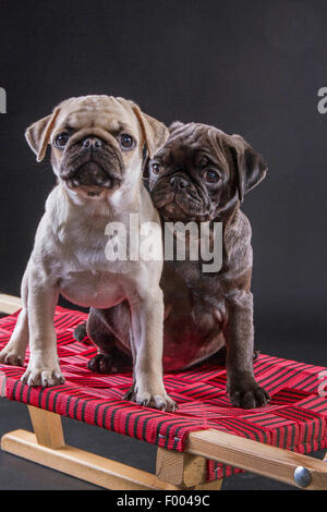 Pug (Canis lupus f. familiaris), two cute pug puppies together on a toboggan - Stock Photo