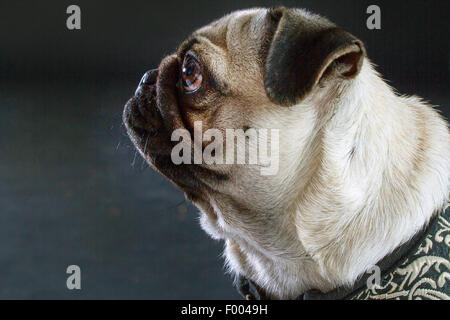 Pug (Canis lupus f. familiaris), portrait in front of black background, side view - Stock Photo