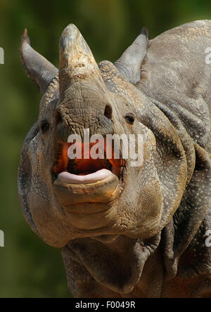 Greater Indian rhinoceros, Great Indian One-horned rhinoceros (Rhinoceros unicornis), portrait with mouth open, - Stock Photo