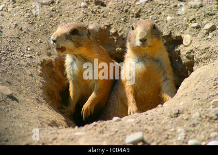 black-tailed prairie dog, Plains prairie dog (Cynomys ludovicianus), sit in the den and watching out - Stock Photo