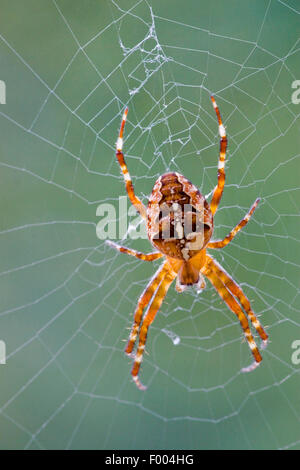 cross orbweaver, European garden spider, cross spider (Araneus diadematus), in its web, Germany, North Rhine-Westphalia - Stock Photo