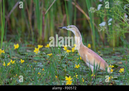 Squacco heron (Ardeola ralloides), standing in shallow water covered with water fringes, Greece, Lake Kerkini - Stock Photo