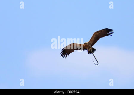 lesser spotted eagle (Aquila pomarina), flying with a snake in the claw, Greece, Lake Kerkini - Stock Photo