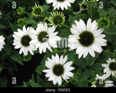 Purple Cone Flower, Eastern purple-coneflower, Echinacea purpurea Pow Wow White Rudbeckia purpurea, Brauneria purpurea - Stock Photo