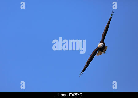 American bald eagle (Haliaeetus leucocephalus), flying, Canada, Vancouver Island - Stock Photo