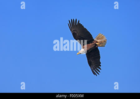 American bald eagle (Haliaeetus leucocephalus), flying at the blue sky, Canada, Vancouver Island - Stock Photo