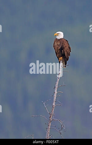 American bald eagle (Haliaeetus leucocephalus), sitting on top of a dead tree, lookout, Canada, Banff National Park