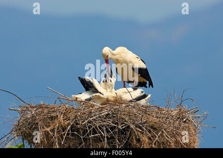 white stork (Ciconia ciconia), adult bird feeding young birds in the nest, Greece, Lake Kerkini - Stock Photo