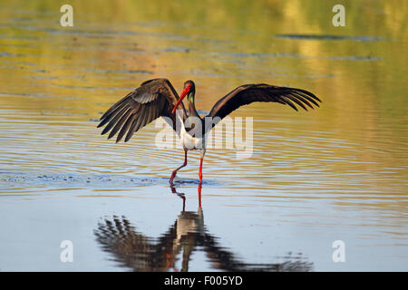 black stork (Ciconia nigra), looks for fishes in shallow water, Greece, Lesbos - Stock Photo