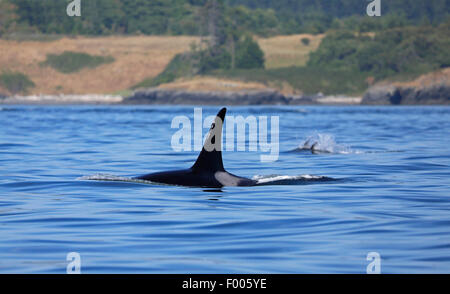 orca, great killer whale, grampus (Orcinus orca), swimming male, Canada, Victoria, Haro Strait - Stock Photo