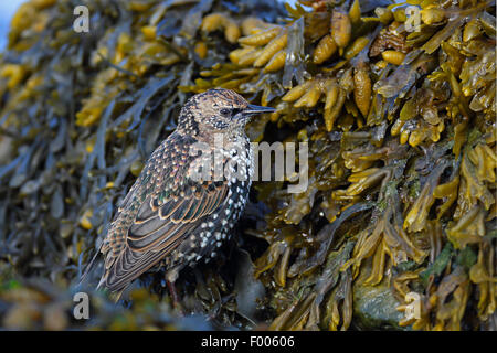 common starling (Sturnus vulgaris), starling in winter plumage looks for food at bladderwrack, Netherlands, Frisia - Stock Photo