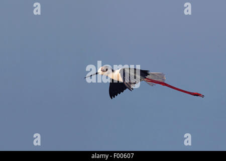 black-winged stilt (Himantopus himantopus), flying, Greece, Lesbos - Stock Photo
