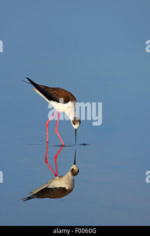 black-winged stilt (Himantopus himantopus), looks for food in shallow water, mirror image, Greece, Lesbos - Stock Photo