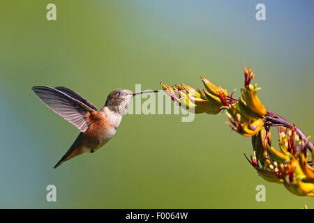 rufous hummingbird (Selasphorus rufus), flying female in front of a blossom, Canada, Vancouver Island - Stock Photo