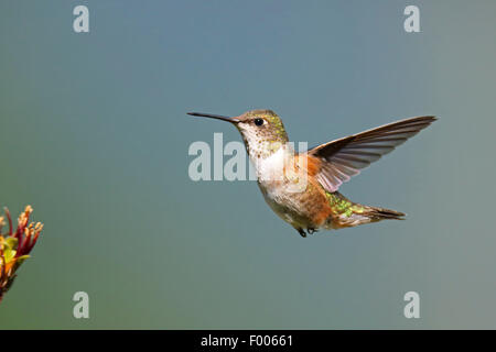 rufous hummingbird (Selasphorus rufus), flying female , Canada, Vancouver Island - Stock Photo