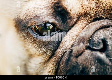 Close Up Eye And Nose Dog French Bulldog - Stock Photo