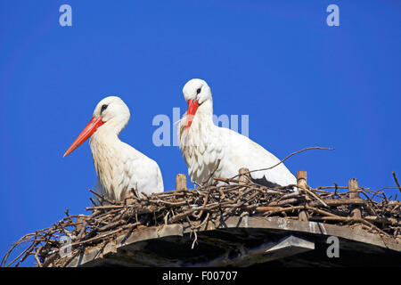 white stork (Ciconia ciconia), two storks sitting in the nest, Germany - Stock Photo