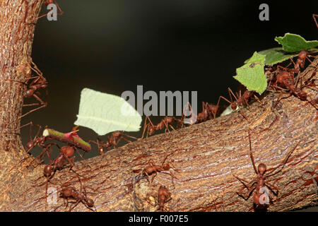 leafcutting ant (Atta sexdens), several leafcutting ants with parts of leaves and stems - Stock Photo
