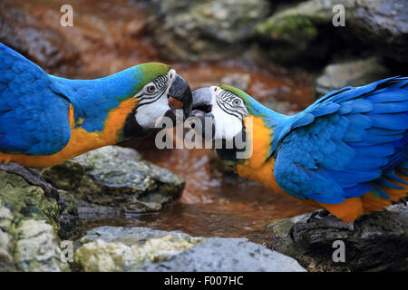 Blue and yellow macaw, Blue and gold Macaw, Blue-and-gold Macaw, Blue-and-yellow Macaw (Ara ararauna), pair billing