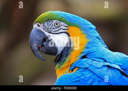 Blue and yellow macaw, Blue and gold Macaw, Blue-and-gold Macaw, Blue-and-yellow Macaw (Ara ararauna), portrait - Stock Photo