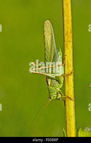 Great Green Bush-Cricket, Green Bush-Cricket (Tettigonia viridissima), male at a sprout, Germany - Stock Photo
