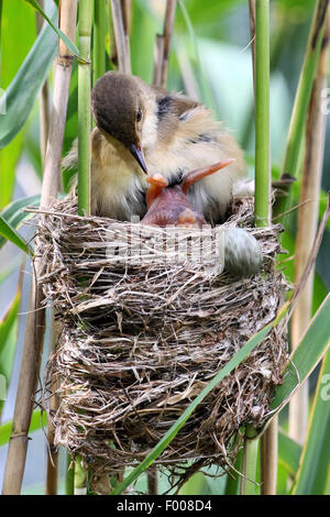 Eurasian cuckoo (Cuculus canorus), freshly hatched chick in the nest of a reed warbler, rolling the other eggs from - Stock Photo