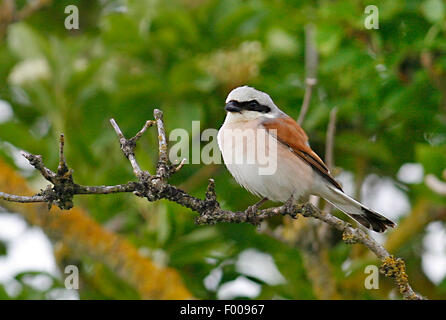 red-backed shrike (Lanius collurio), male on a twig, Germany - Stock Photo
