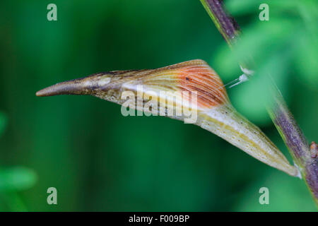 Orange-tip (Anthocharis cardamines), Male butterfly inside pupa before hatching, Germany, Bavaria - Stock Photo