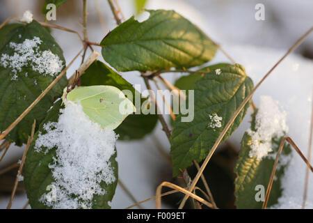 brimstone (Gonepteryx rhamni), Butterfly overwintering in snow, Germany, Bavaria - Stock Photo