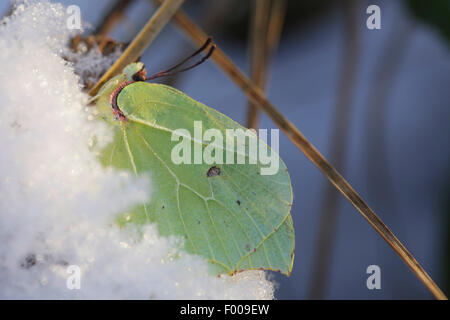 brimstone (Gonepteryx rhamni), male Butterfly overwintering in snow, Germany, Bavaria - Stock Photo