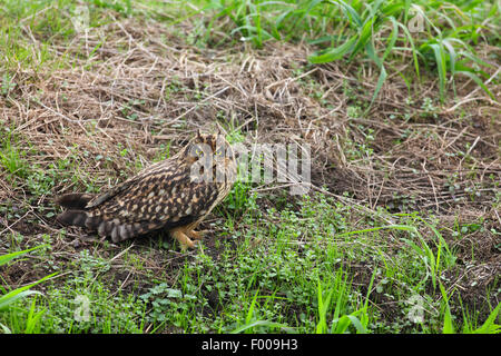 short-eared owl (Asio flammeus), sitting on the ground, Germany - Stock Photo