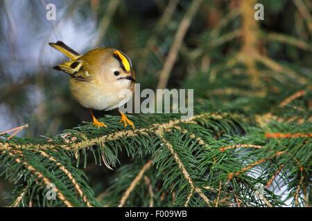 goldcrest (Regulus regulus), male on a twig, Germany - Stock Photo