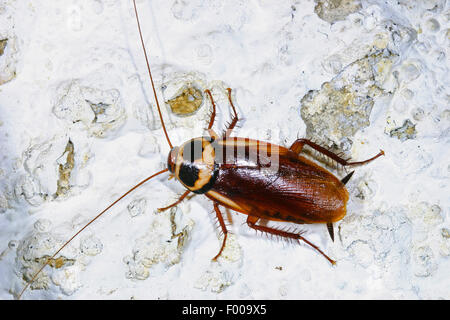 Australian cockroach (Periplaneta australasiae, Blatta australasiae), on flaking finery, Germany - Stock Photo