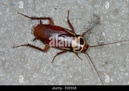 Australian cockroach (Periplaneta australasiae, Blatta australasiae), on a stone, Germany - Stock Photo
