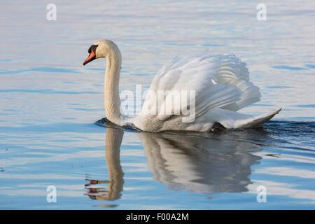 mute swan (Cygnus olor), displaying male, Germany, Bavaria, Lake Chiemsee Stock Photo