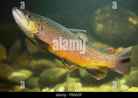 brown trout, river trout, brook trout (Salmo trutta fario), male , Germany, Bavaria - Stock Photo