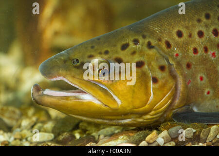 brown trout, river trout, brook trout (Salmo trutta fario), male, portrait, Germany, Bavaria - Stock Photo