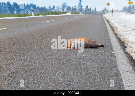 red fox (Vulpes vulpes), dead on the street, roadkill, Germany, Bavaria - Stock Photo